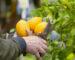 El limonero es de los pocos árboles que dan fruto todo el año.