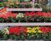Begonias de flor