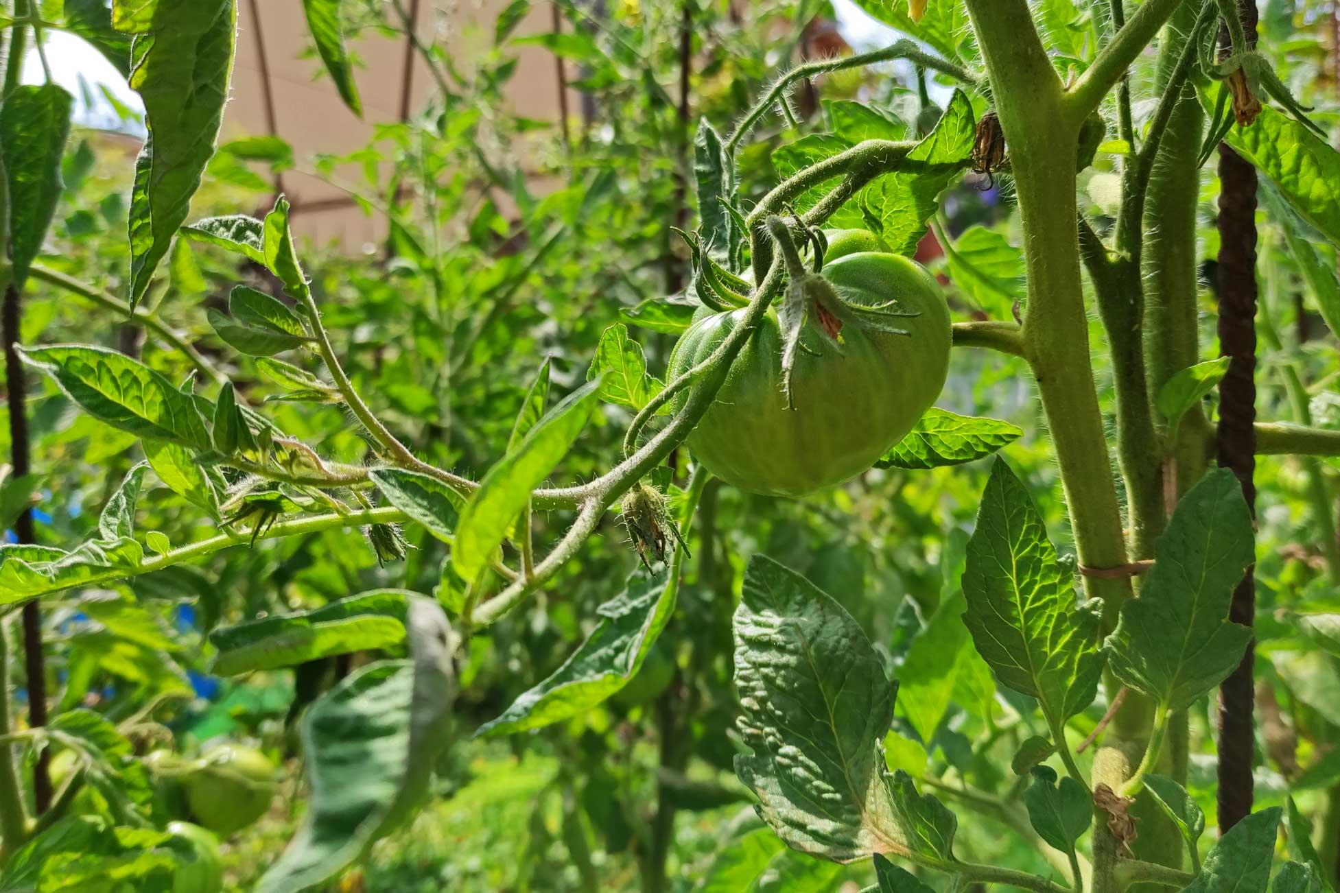 Huerta con tomates
